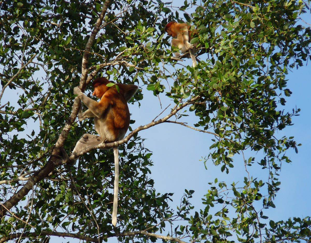 SLBOR 11 Wild Borneo with Singapore add on   Proboscis monkeys