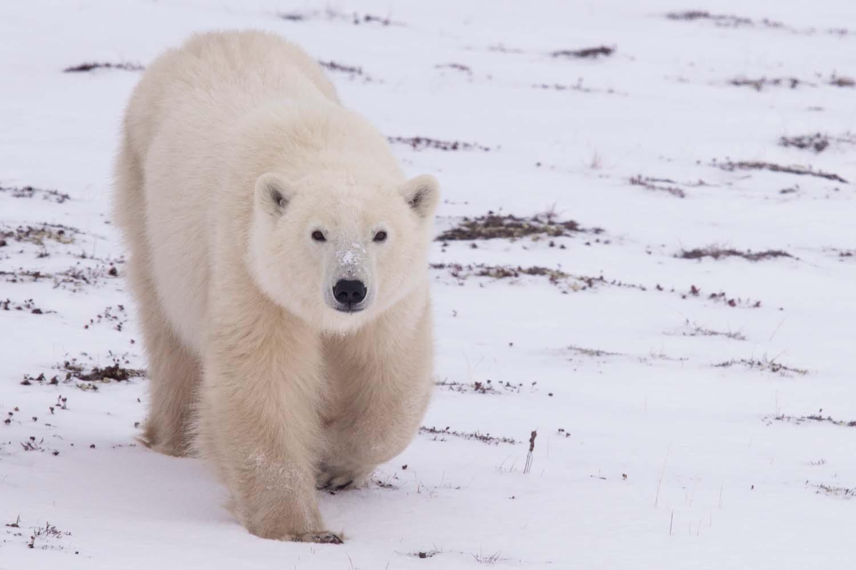 UPB Winter Polar Bear Encounter 1
