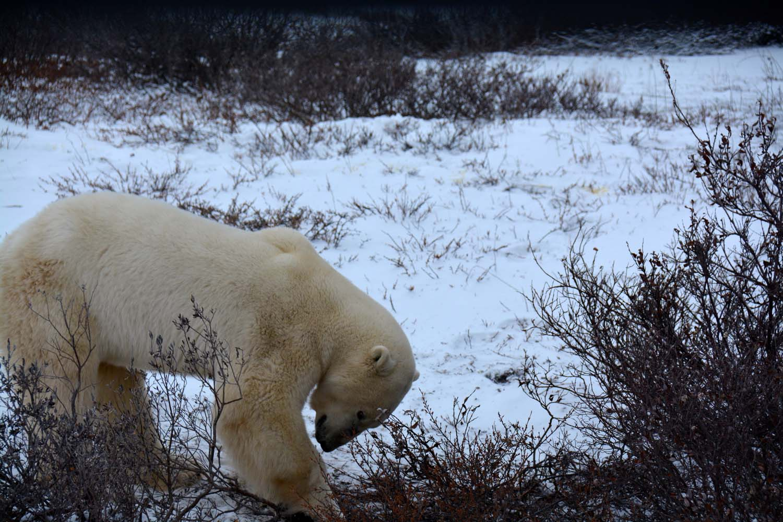 UPB Winter Polar Bear Encounter 10
