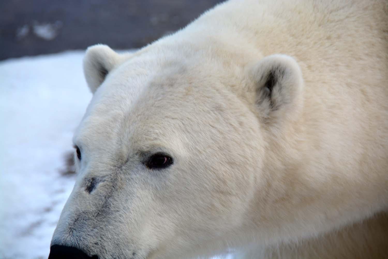 UPB Winter Polar Bear Encounter 11
